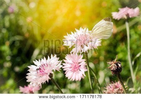 The White Butterfly Is The Blooming Pink Garden Cornflower, Centaurea Cyanus, In Flowerbed With Sunl