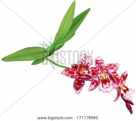 Orchid flowers Beallara of pseudobulb and leaves. Vector illustration