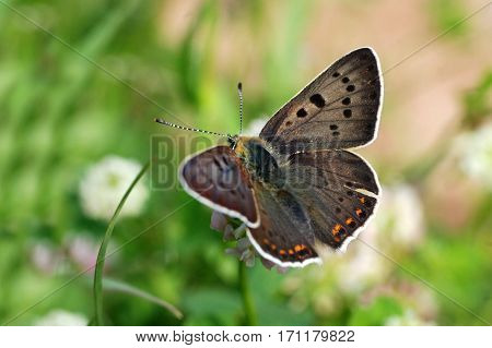 Lycaena tityrus, Sooty Copper butterfly in the grass.