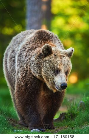 Big Brown Bear photographed vertically while walking in the boreal forest