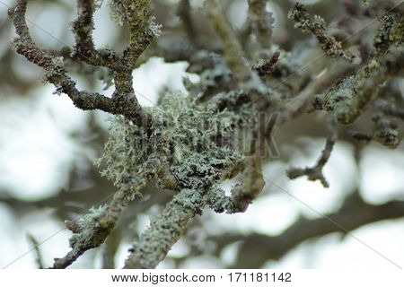 Lichen/ This is a lichen on branches.
