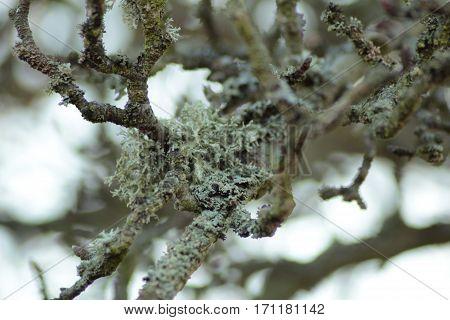 Lichen/ This is a lichen on branches.