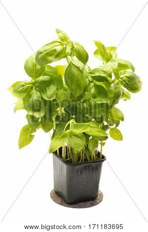 Basil in flowerpot on a white background