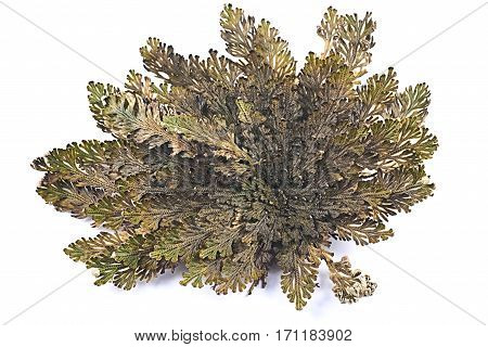 Rose of Jericho (Selaginella lepidophylla) False Rose of Jericho other common names include Jericho rose resurrection moss dinosaur plant siempre viva stone flower doradilla Resurrection plant Mary's flower Mary's hand Palestinian tumbleweed St. Mary's fl