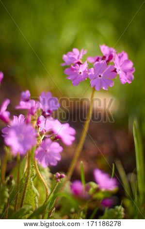 Wild Phlox wildflowers of Central bright colors Sunny day summer.