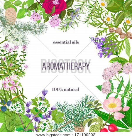 Big vector set of popular essential oil plants. Ornament with text. Rose, Geranium, lavender, mint, melissa, Chamomile, cedar, pine, juniper, rosehip etc For cosmetics spa health care aromatherapy