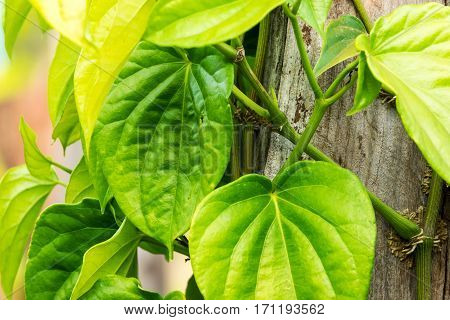 Betel leaves growing on tree trunk leaves can use for chewing and ingredient