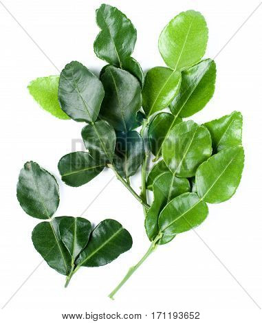 Branch of Fresh Crunchy Kaffir Lime Leafs isolated on White background