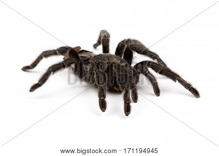 Isolated photo of black spider's pelt on white background