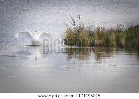 Elegant white swan spreading his wings with lovely reflection on the icy water