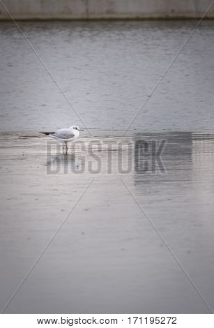 Gull standing on ice in urban landscape reflecting on frozen water