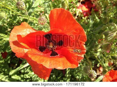 Bees taken pollen from a red poppy flower