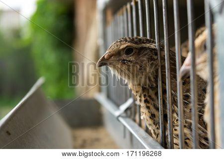 farming theme, quail in cell, close-up shoot
