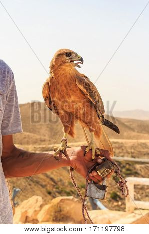 Long-legged buzzard or Buteo rufinus used by falconer for hunting