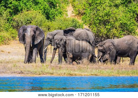 The concept of active and exotic tourism. Elephants are located on the river bank Watering in the Okavango Delta. Chobe National Park in Botswana