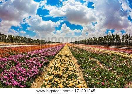 Spring in Israel. Magnificent multicolored flowering garden buttercups. Kibbutz field next to the Gaza Strip. The concept of modern agriculture and industrial floriculture