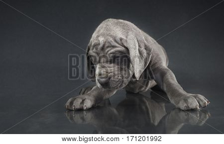 Great Dane puppy that looks like what it fell on