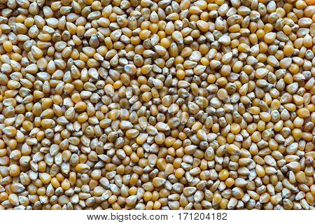 dried grains of corn for a background and texture closeup