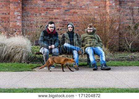 Bute Park Cardiff Wales UK - February 13 2017: Lame fox (Vulpes vulpes) approaching people in daylight. Hungry animal seeks food from people during afternoon attracting attention and call to RSPCA