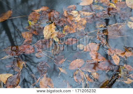 Autumn leaves and pine needles floating in a pool of forest