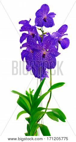 Bunch of fresh blue orchid flowers with green leaves isolated on white background