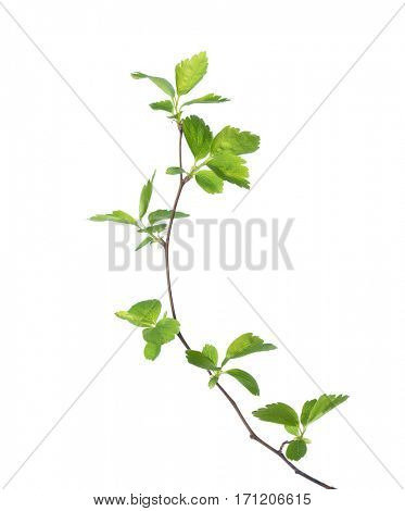 Branch with young green spring leaves isolated on white.