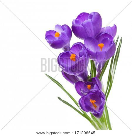 Flowers of crocus isolated on white background.