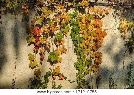 Monza (Brianza Lombardy Italy): the park at fall (october) a wall with plants