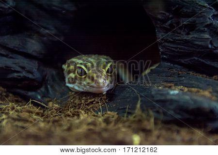 eublepharis spotted peeking out of a hole