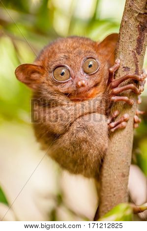 Tarsier monkey in natural environment, Philippines