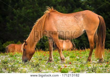 A wild banker mare grazing through the grass