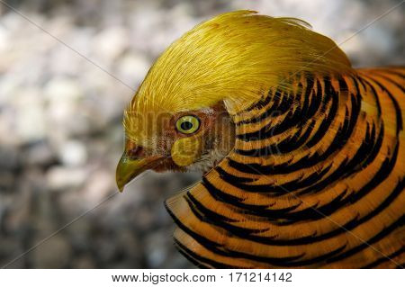 Golden pheasant bird, One golden pheasant walking in the nature with tree background, wild golden pheasant in the nature close up, tropical colorful bird, popular bird in Philippines, Philippines
