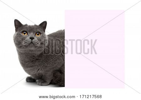 cat with yellow eyes sitting at the banner on a white background. horizontal photo.