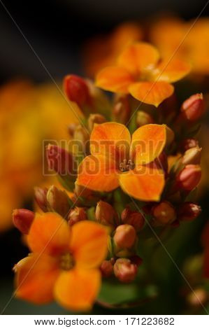 Close up to detail of orange kalanchoe fower