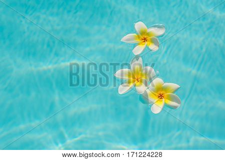 three white frangipani flower on the water in the pool.