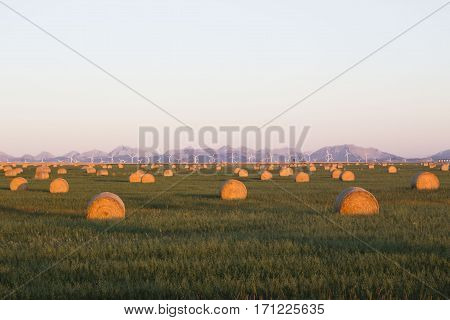 horizontal image of an early sunrise covering a green field of round hay bales scattered across the land with purple mountains and white turbines in the distant background on an early summer morning.