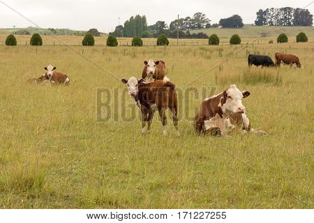 Cows with calves resting and grazing on a field in Tasmania Australia
