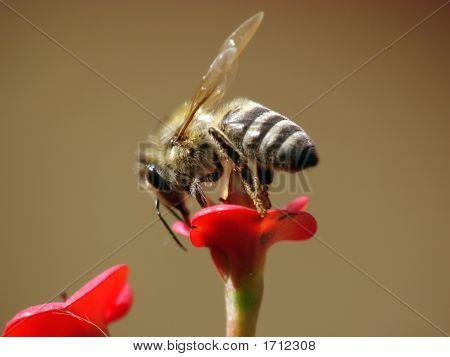 Bee Closeup1