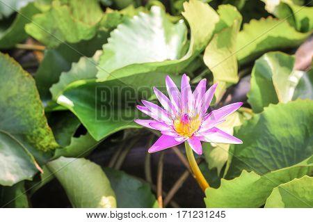 Closeup Top View Single Simple Colorful Beautiful Pink Purple Lotus