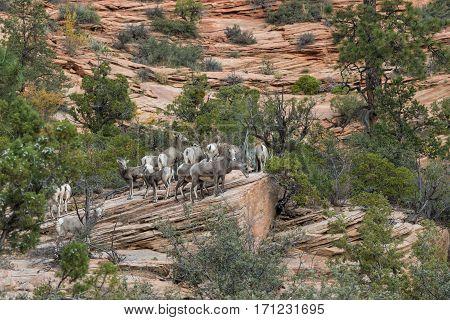 a herd of desert bighorn sheep ewes in utah