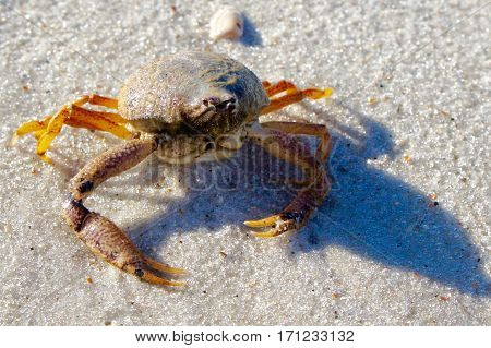 Crab with Barnacles on the Beach in the Sand