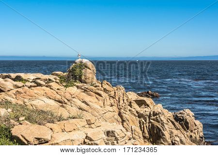The seagull on the rock along the coast of Monterey, California