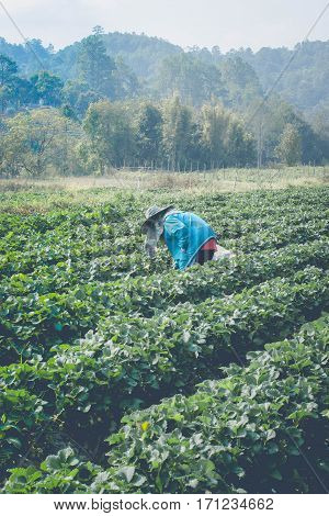 farmman pick strawberry in strawberry every day in morning time