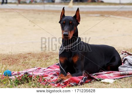 the dog breed Doberman Pinscher is lying on red blanket