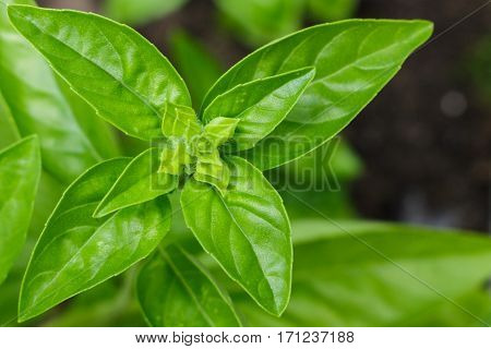 Flavorful sweet savory Genovese basil growing organically in a raised bed garden. Ready for a salad or cooking.