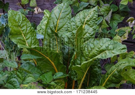 Healthy bunch of Swiss chard growing organically in a raised bed garden with vibrant green leaves.