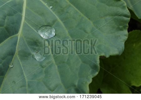 A healthy collard green leaf with a reflection in a water droplet upon it.