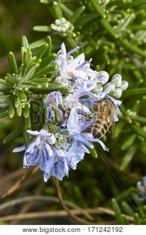 detail of a bee on top a basilico flowerin a meadow