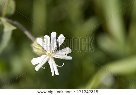Macro of Melandrium album (or Silene latifolia) flower