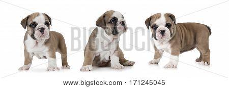 Photo collage of English Bulldog puppy (six weeks old) isolated on white background